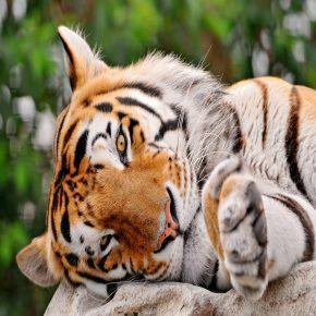 Sfondo Whatsapp tigre